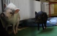 009-Pädagogikschweine-2