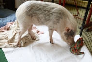 009-Pädagogikschweine
